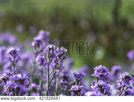 Floral Background. Blooming Purple And Orange Plants Closeup. Selective Focus