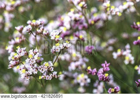 Floral Background. Small Pink And White Flowers Closeup. Selective Focus