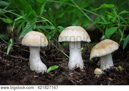 Edible Mushroom Calocybe Gambosa Commonly Known As St. Georges Mushroom - Czech Republic, Europe