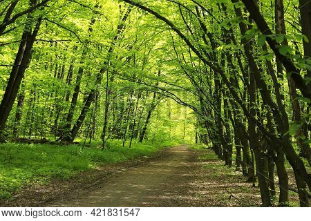 Beautiful Landscape With Pathway Among Tall Trees In Park