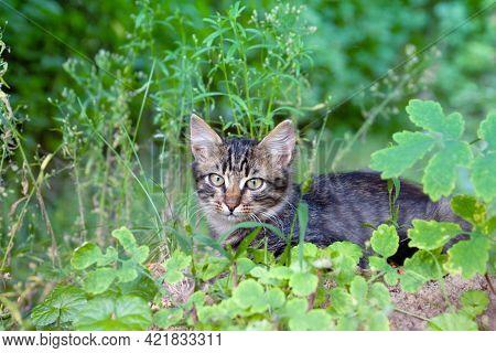 Portrait Of A Cute Little Kitten. The Cat Lies In A Tall Green Grass In Summer