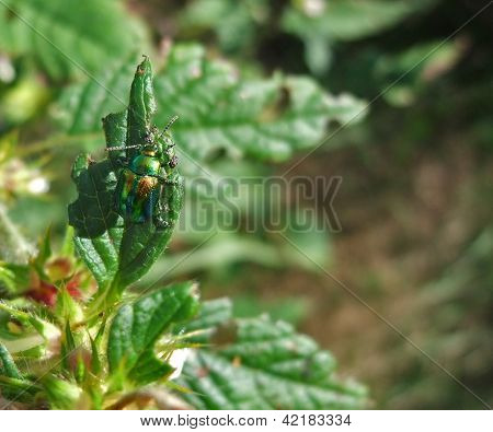 Chrysolina Fastuosa In Sunny Ambiance