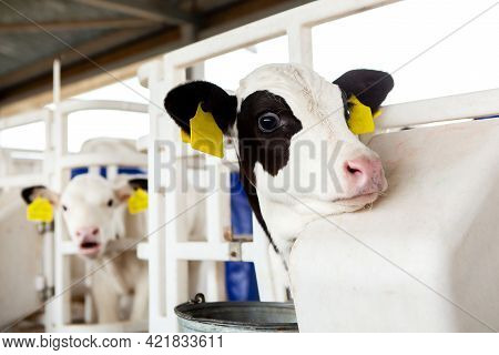 Calves In A Calf Barn On A Dairy Farm, Looking Out Of The Enclosure. Milk Production, Agriculture.