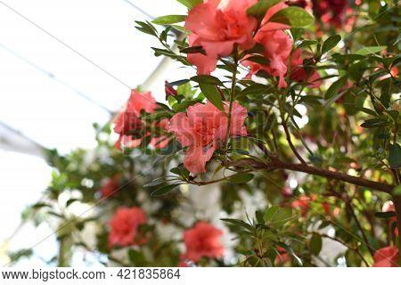 Rhododendron Bunde Schame Or Azalea Indica Flowers