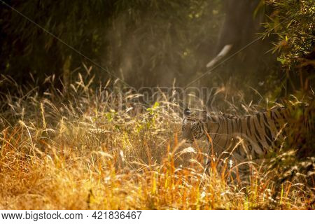 Wild Bengal Tiger Side View In Golden Glittering Winter Light At Bandhavgarh National Park Or Tiger
