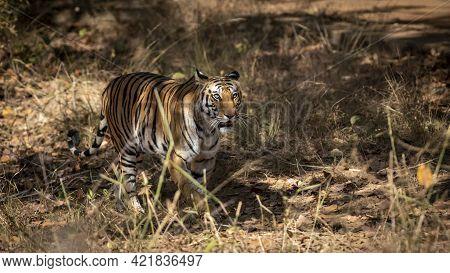 Wild Bengal Tiger On Prowl At Bandhavgarh National Park Or Tiger Reserve Madhya Pradesh India - Pant