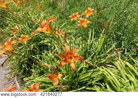 Upright Stems With Orange Flowers Of Hemerocallis Fulva In June