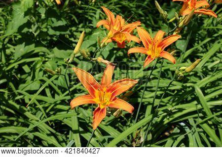 Vibrant Orange Flowers Of Hemerocallis Fulva In Mid June