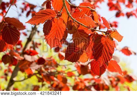 Red-leaved Hazel In A Landscape Park, Spring View, Closeup