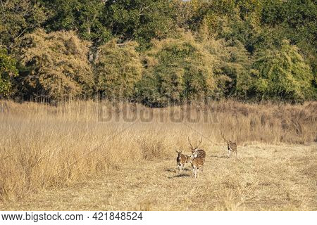Spotted Deer Or Chital Or Axis Axis Herd Or Family On Move Together In Open Field At Bandhavgarh Nat