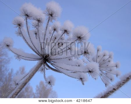 Covered With Hoarfrost