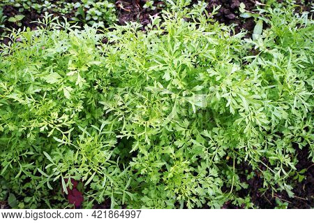 Fresh Green Cress Growing In Vegetable Garden. Leaves With Water Drops After Rain.