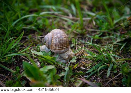 Roman Snail - Helix Pomatia. Helix Pomatia, Common Names The Roman, Burgundy, Edible Snail Or Escarg