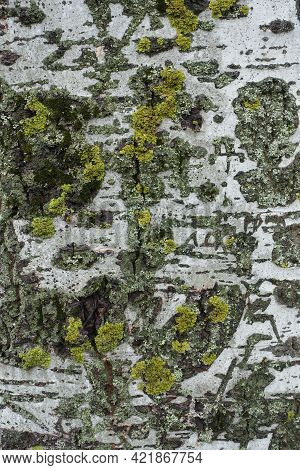 Populus Alba Bark With Bright Yellow And Green Lichen And Moss