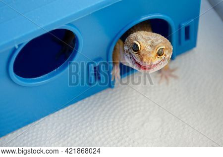 Adult Eublefar Lizard Licks Its Lips And Peeking Out Of His Plastic Blue House. Concept Of Keeping L