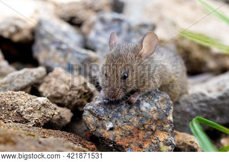 Gray Mouse On Stones, Harm From Mice