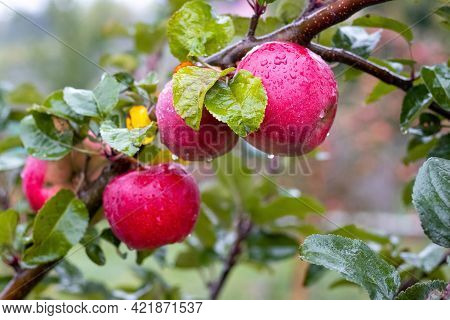 Red Apples With Raindrops In The Garden On A Tree. Wet