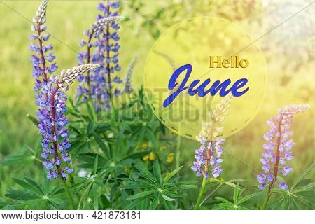 Violet Blue Lupine Flowers On A Sunny Day. Hello June Wallpaper, Summer Garden Background