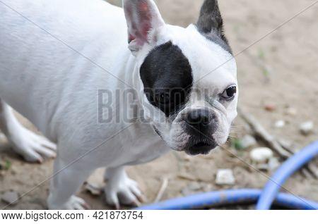 Dog Or French Bulldog, Unaware French Bulldog On The Floor
