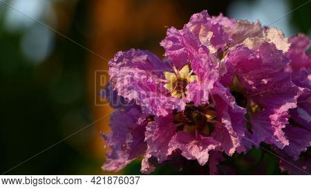 Closeup Queen's Flower Or Inthanin Flower In Thailand And Lagerstroemia Speciosa (l.) Pers . Queen's