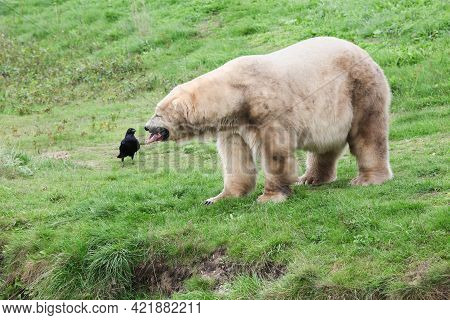 White Polar Bear With A Bird In The Nature