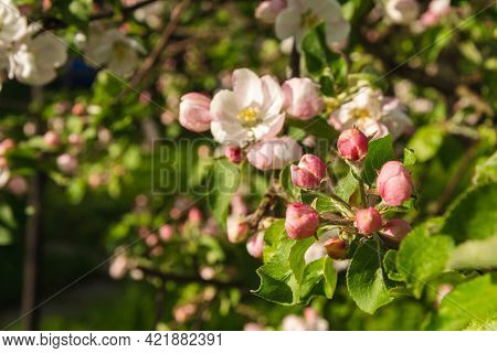 Apple Tree Flowers, A Branch Of A Flowering Apple Tree On The Background Of A Garden, An Apple Tree