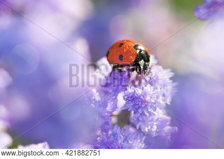 Close Up Macro Wildlife Insect Ladybug Is Sitting Through Spring Flowers In Meadow. Blurry Backgroun