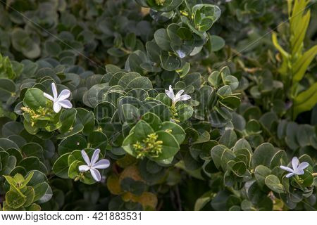Carissa Macrocarpa. White Flowers And Green Leaves Background, Natal Plum Carisse, Shrub Native To S