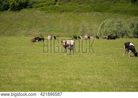 Grazing Season. Cows And Sheep Graze In The Meadow. Selective Focus.