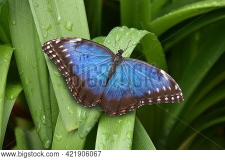 Beautiful Closeup Of A Peleides Blue Morpho Butterfly With Open Wings, Tropical Insect Specie From A