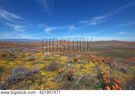 Desert Field Of California Golden Poppies Under Blue Cirrus Sky In The High Desert Of Southern Calif