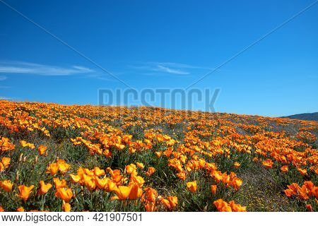 Desert Hill Blanketed With California Golden Poppies Under Blue Cirrus Sky In The High Desert Of Sou
