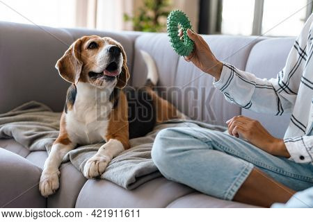 Close up of an african woman in casual wear with beagle puppy at home, sitting on a sofa, playing