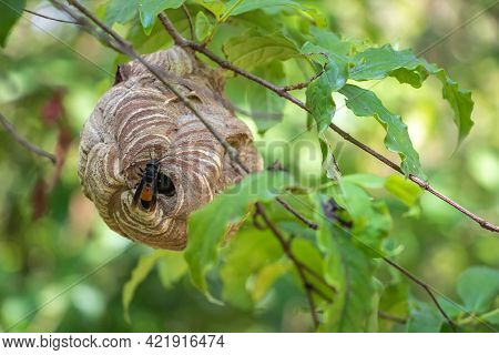 Lesser Banded Hornet's Nest In Forest In Vientiane, Laos