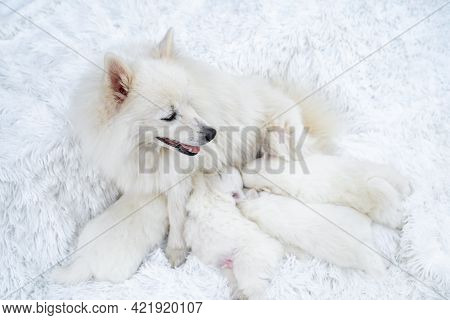 Mom Dog Feeds Breast Milk Puppies. Breeding Dogs Breed Japanese Spitz.