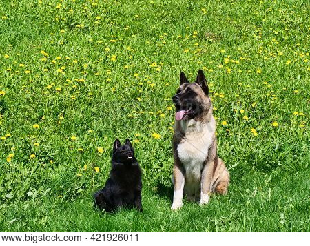 The American Akita And The Adorable Little Belgian Shepherd Schipperke Sit On The Green Grass Agains