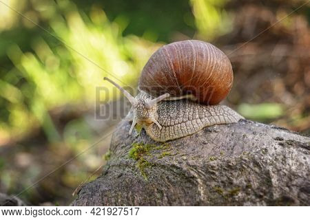 A Snail On A Rock Covered With Moss. A Snail On A Green Blurred Natural Background On A Sunny Day.
