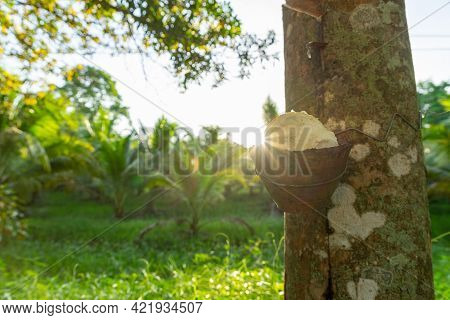 Tapping Latex Rubber Tree. Rubber Plantation In Thailand. Natural Of Rubber Tree.