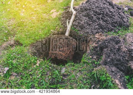 Young Plant With Roots. Planting A Tree In The Ground. Nature And Environment. Ecology And Gardening
