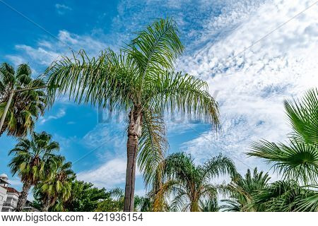 Many Different Palm Trees Against A Blue Sky With Clouds - Bottom View. Park With Tropical Plants In