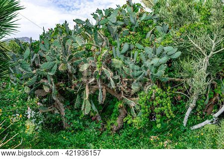 Thickets Of Opuntia Trees And Euphorbia Tirucalli Trees  Intertwined With Wild Grapes In The Park Of
