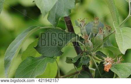 A Branch Of An Apple Tree With Fruit Ovaries After Flowering.