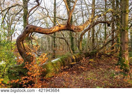 Large Fallen Tree In A Broadleaf Woodland During Winter In Scotland