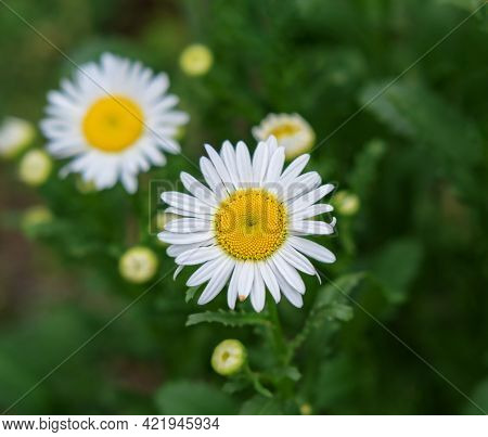 Chamomile Flowers Symbol Of Family Holiday On Green Grassy Background Leaves Daisy, Single Decorativ