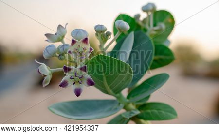 Freshly Blossomed Calotropis Gigantia Or Calotropis Procera Flowers In Qatar During The Beginning Of