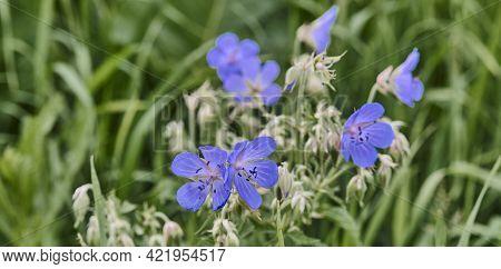 Beautiful Blue Wild Flowers Meadow Cranesbill On A Dark Green Background. Close Up,