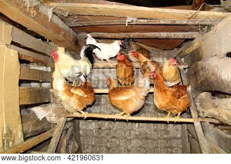 Wooden Village Chicken Coop With Roosts For Hens And Roosters