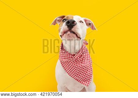 Hungry American Staffordshire Dog Straight Licks Wearing A Checkered Napkin, Isolated On Yellow Back