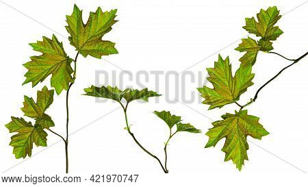 Branch Of Maple Tree With Green Spring Maple-leafs Isolated On White Background. Maple Leaf Set. Iso