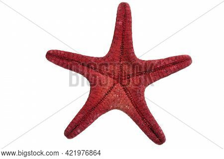 Underneath Of A Red Starfish. High Details Studio Shot Image. Png File With Transparent Background.